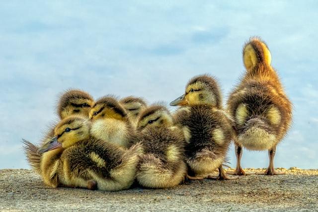 鴨の子供たち